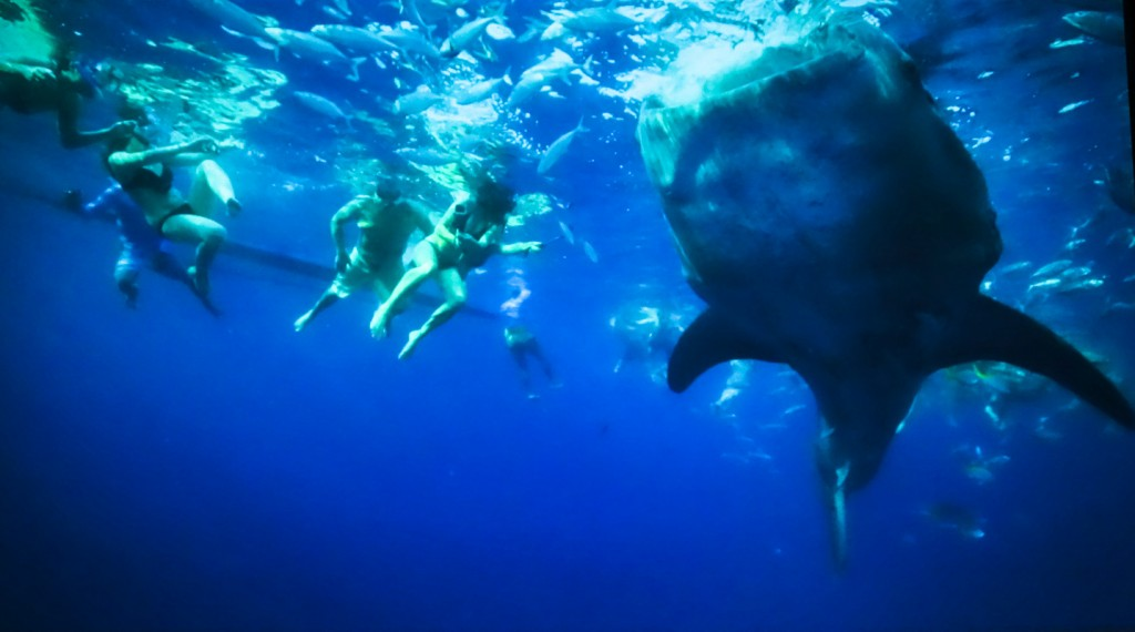 Exposing The Whale Shark's Exploitation In On The Brink