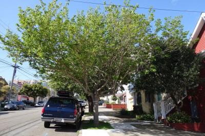 Morus-Alba-Tree-San-Francisco-Profile