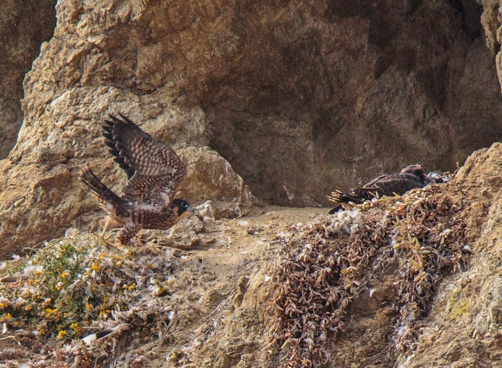 The Peregrines Of Devil's Slide Trail