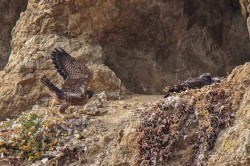 photographer-peregrine-devils-slide-3